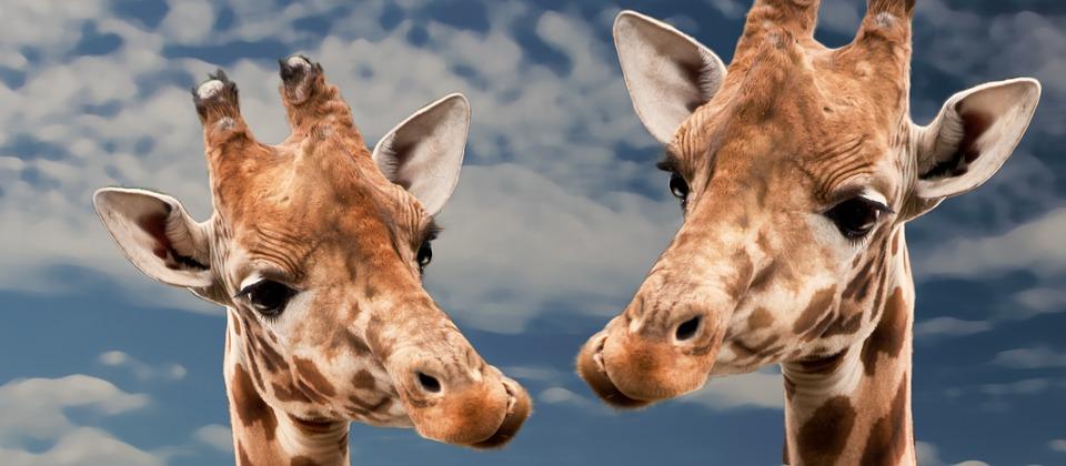 imagen principal de jirafas