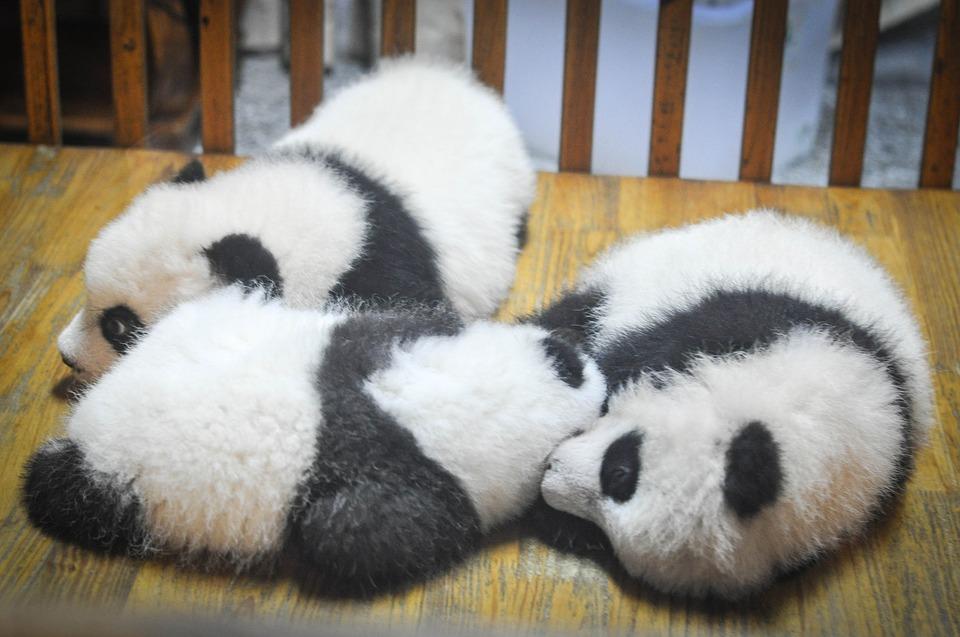 imagen principal de osos panda